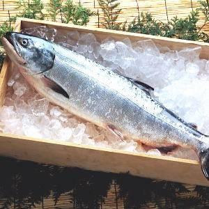 【北洋産】若紅鮭(さけ)1本
