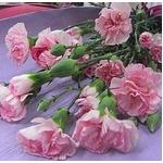 【母の日ギフト5月5日まで】カーネーション ピンク系 スプレータイプ×5本の詳細ページへ