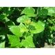 太田胃散 桑の葉ダイエット 写真5