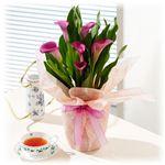 【母の日ギフト!4月28日まで限定】カラー 赤紫系