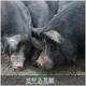 鹿児島黒豚 焼肉用(単品) ばら500g 写真5