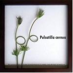 《リーフパネル》F-style Frame Pulsatilla cernua(翁草/オキナグサ)