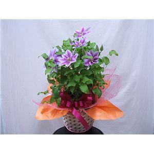 【母の日限定ギフト】カラーおまかせ 花鉢クレマチス ラッピング・リボン・かご入り・カード付き