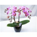 【母の日限定ギフト】カラーおまかせ 花鉢胡蝶蘭 カード付きの詳細ページへ