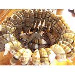 【】築地魚河岸から直送、魚河岸仲買人厳選の食材ブラックタイガー (1.8kg)