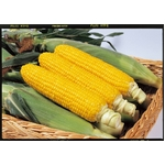 【8月31日で終了 生でも食べられるとうもろこし】朝一番採りを直送!フルーツコーン「ゴールドラッシュ」 5kg