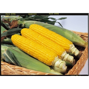 【9月2日で終了 生でも食べられるとうもろこし】朝一番採りを直送!フルーツコーン「ゴールドラッシュ」 5kg