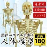 人体模型 人体骨格模型 等身大 180cm リアル 手・足・頭・顎・肩・ひじ・手首・足首稼働 お部屋のインテリア、オブジェや人物の絵画や彫刻の基本 ハロウィン、イベント、肝試しの詳細ページへ