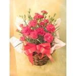 母の日ギフト カーネーション鉢植え 5号鉢の詳細ページへ