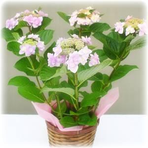 【母の日ギフト!5月5日まで!】アジサイ 城ヶ崎ピンク系 バスケット 5号鉢