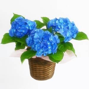 【母の日ギフト!5月5日まで!】玉アジサイ ブルー バスケット 5号鉢
