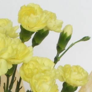 【母の日ギフト!5月5日まで!】カーネーション 黄系 ラッピング 5号鉢