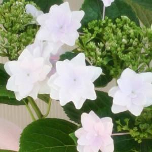 【母の日ギフト!5月5日まで!】アジサイ 隅田の花火 バスケット 5号鉢