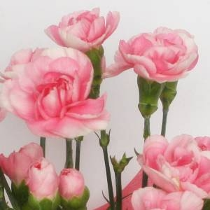【母の日ギフト!5月5日まで!】カーネーション ライトピンク系 ラッピング 5号鉢
