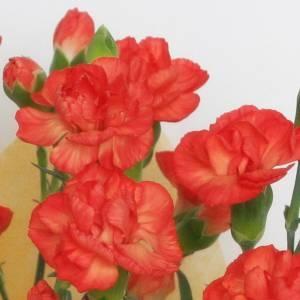 【母の日ギフト!5月5日まで!】カーネーション オレンジ系 ラッピング 5号鉢