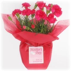 【母の日ギフト!5月5日まで!】カーネーション ピンク系 ラッピング 5号鉢