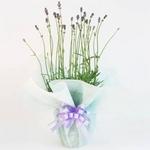 【母の日ギフト!5月5日まで!】イングリッシュラベンダー ラッピング 4号鉢の詳細ページへ