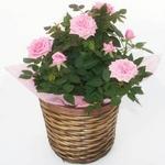 【母の日ギフト!5月5日まで!】ミニバラ バスケット ピンク系 5号鉢の詳細ページへ