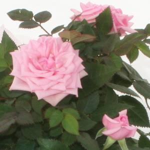 【母の日ギフト!5月5日まで!】ミニバラ バスケット ピンク系 5号鉢