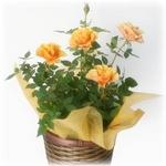【母の日ギフト!5月5日まで!】ミニバラ バスケット オレンジ系 5号鉢の詳細ページへ