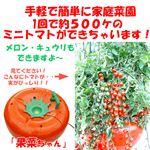 手軽に家庭菜園 家庭用水気栽培(ホームハイポニカ) 果菜 (かな)ちゃん ミニトマト種付き