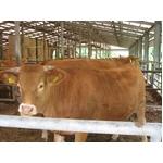 100%国産飼料肥育「阿蘇赤牛」1頭(約650kg)分の枝肉・出荷11月下旬(予約販売)熊本県阿蘇産山村・井雅信様肥育の詳細ページへ