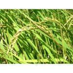 玄米  宮城県登米産 ササニシキ100%  30kg