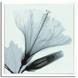 風景専門店あゆわら 《X-Ray(X線) アートフレーム》Hibiscus & Bud(ハイビスカスとつぼみ) Steven N.Meyers(スティーブン・マイヤーズ)