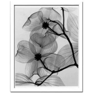 風景専門店あゆわら 《X-Ray(X線) アートフレーム》Dogwood Blossoms(ハナミズキの花) Steven N.Meyers(スティーブン・マイヤーズ)