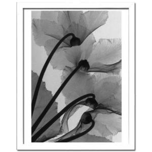 風景専門店あゆわら 《X-Ray(X線) アートフレーム》Cyclamen Study 4(シクラメン調査4) Steven N.Meyers(スティーブン・マイヤーズ)
