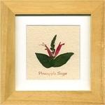 風景専門店あゆわら 《ハーブ アートフレーム》Pineapplesage(パイナップルセージ)