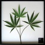 《リーフパネル》F-style Frame Cannabis sativa(カンナビス・サティバ/大麻草)