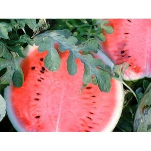 【お中元用 のし付き(名入れ不可)】波田町はスイカの産地では全国的に有名です。農林大臣賞受賞のスイカ。