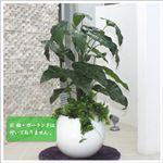 人工観葉植物 ビロードカズラ 105cm