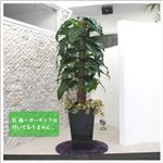 人工観葉植物 ビロードカズラ 145cm