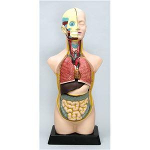 ●人体解剖模型(トルソー型)50cm