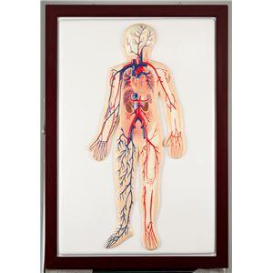 ●血液循環系模型