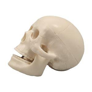 小型頭骸骨模型